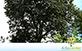 Sementes de Olho de Cabra (Ormosia arborea)