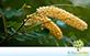 Sementes de Olho de Pavão  (Adenanthera pavonina)