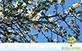 Sementes de Paineira Branca  (Chorisia glaziovii)