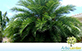 Sementes de Palmeira Fênix Gigante  (Phoenix sylvestris)