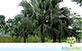 Sementes de Palmeira Leque da China  (Livistona chinensis)