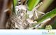 Sementes de Palmeira Leque Prateada  (Thrinax radiata)