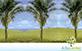 Sementes de Palmeira Licuri  (Syagrus coronata)