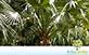 Sementes de Palmeira Sabal de Cuba  (Sabal maritima)