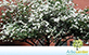 Sementes de Pata de Vaca de Flor Branca (Bauhinia variegata var. candida Roxb)
