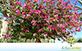 Sementes de Pata de Vaca de Flor Roxa  (Bauhinia purpurea L.)