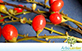 Sementes de Pau de Viola (Citharexylum myrianthum)