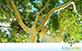 Sementes de Pau Marfim (Balfourodendron riedelianum)