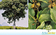 Sementes de Pau Rei  (Pterygota brasiliensis)