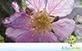 Sementes de Resedá Gigante (Lagerstroemia speciosa)