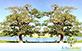 Sementes de Saguaraji  (Colubrina glandulosa)