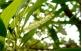 flores de Acácia Mangium Australiana