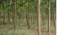 Árvores de  Acácia Mangium Australiana