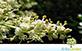 Sementes de Alfeneiro da China (Ligustrum lucidum W.T. Aiton)