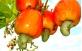Fruto e pseudo-fruto do Caju Vermelho