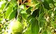 Sementes de Cajá-Grande  (Spondias venulosa Mart. Ex Engl.)