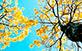 Sementes de Ipê Amarelo Cascudo (Tabebuia chrysotricha (Mart. Ex A. DC.) Standl.)