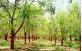 Plantio de Moringa Oleifera