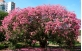 Paineira Rosa utilizada no paisagismo urbano.