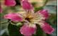 Flor da Paineira Rosa