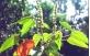 Sementes de Sangra D'Agua (Croton urucurana)