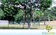 Sementes de Sombreiro (Clitoria fairchildiana)