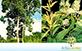 Sementes de Tachi  (Triplaris surinamensis)