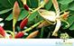 Sementes de Tamarindo (Tamarindus indica L.)