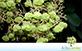Sementes de Teca (Tectona grandis L.f.)