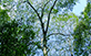 Timbó (Ateleia glazioveana Baill.)