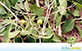 Sementes de Tinge Cuia (Agonandra brasiliensis Miers ex Benth. & Hook. f.)