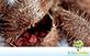 Sementes de Urucum  (Bixa orellana L.)
